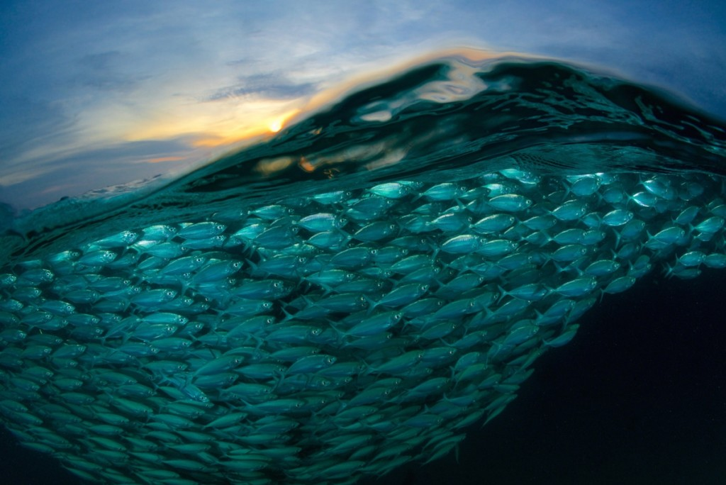 'A Wave of Fish' © Eric Madeja, Switzerland, Commended, Open, Wildlife (Open competition), 2018 Sony World Photography Awards