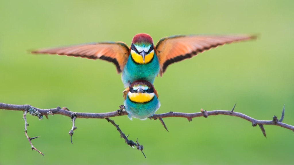 'Bee eaters mating' © Petar Sabol, Croatia, Shortlist, Open, Wildlife (Open competition), 2018 Sony World Photography Awards